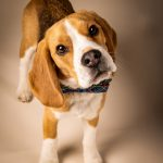 Precious head tilt on beagle puppy with plaid bowtie