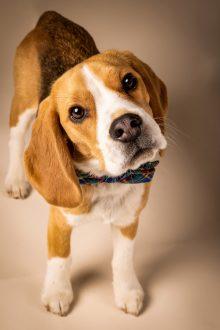 Precious head tilt on beagle puppy with plaid bowtie