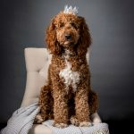 Dog photo of Labradoodle with crown