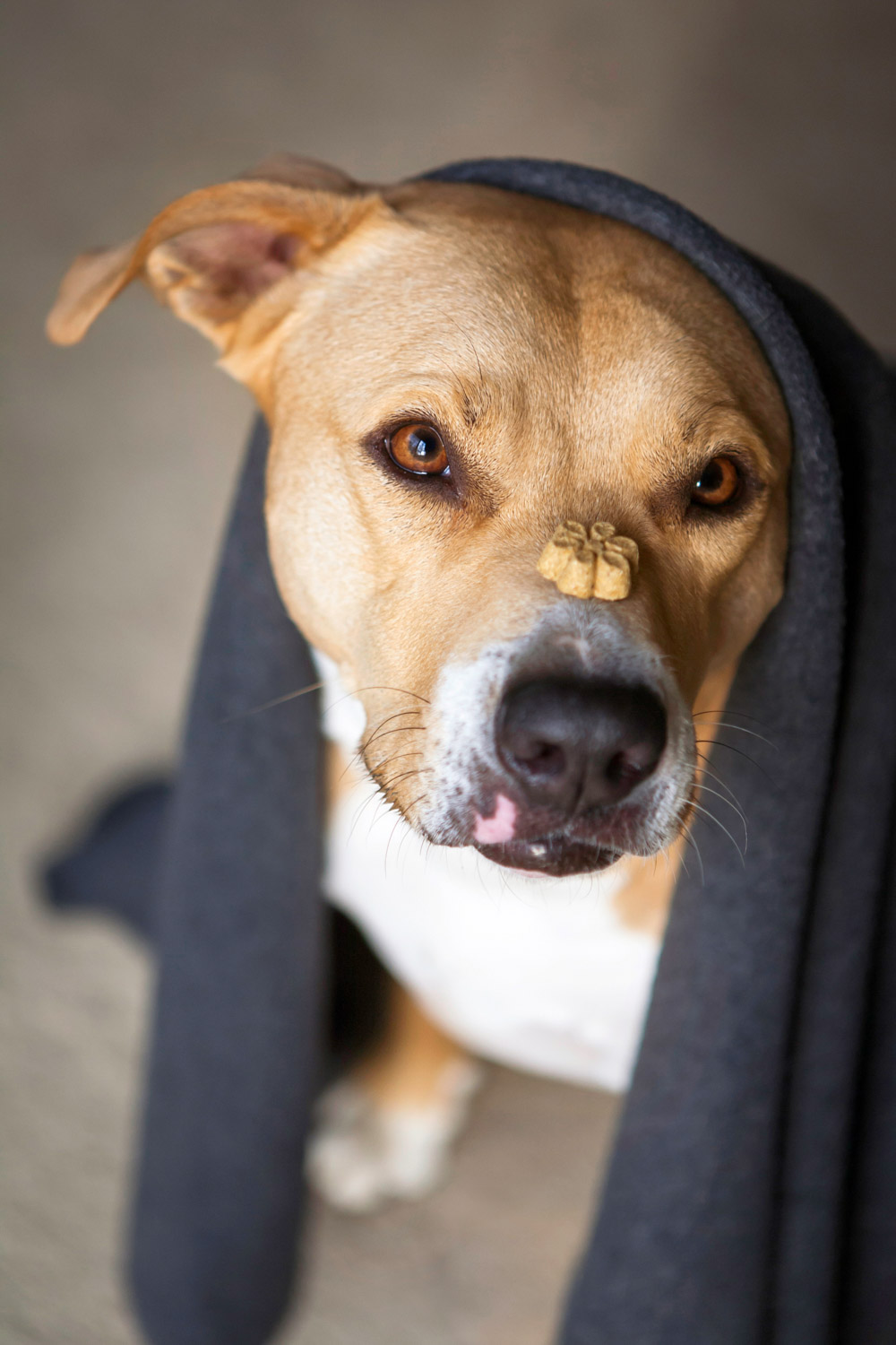 Audrey the rescued Staffordshire Terrier with blanket