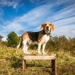 Beagle under bright blue sky