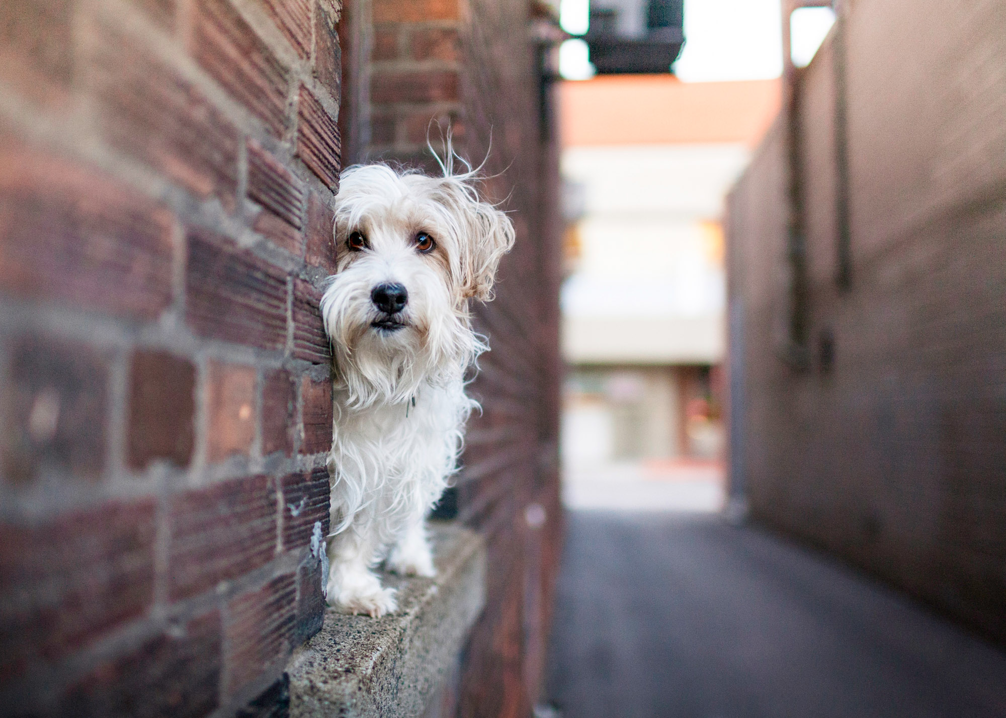Petite Bassett Griffon Vendeen in the city alley