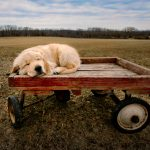 sleeping puppy on wagon in the field