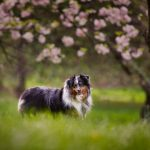 Mini Australian Shepherd under the cherry blossoms