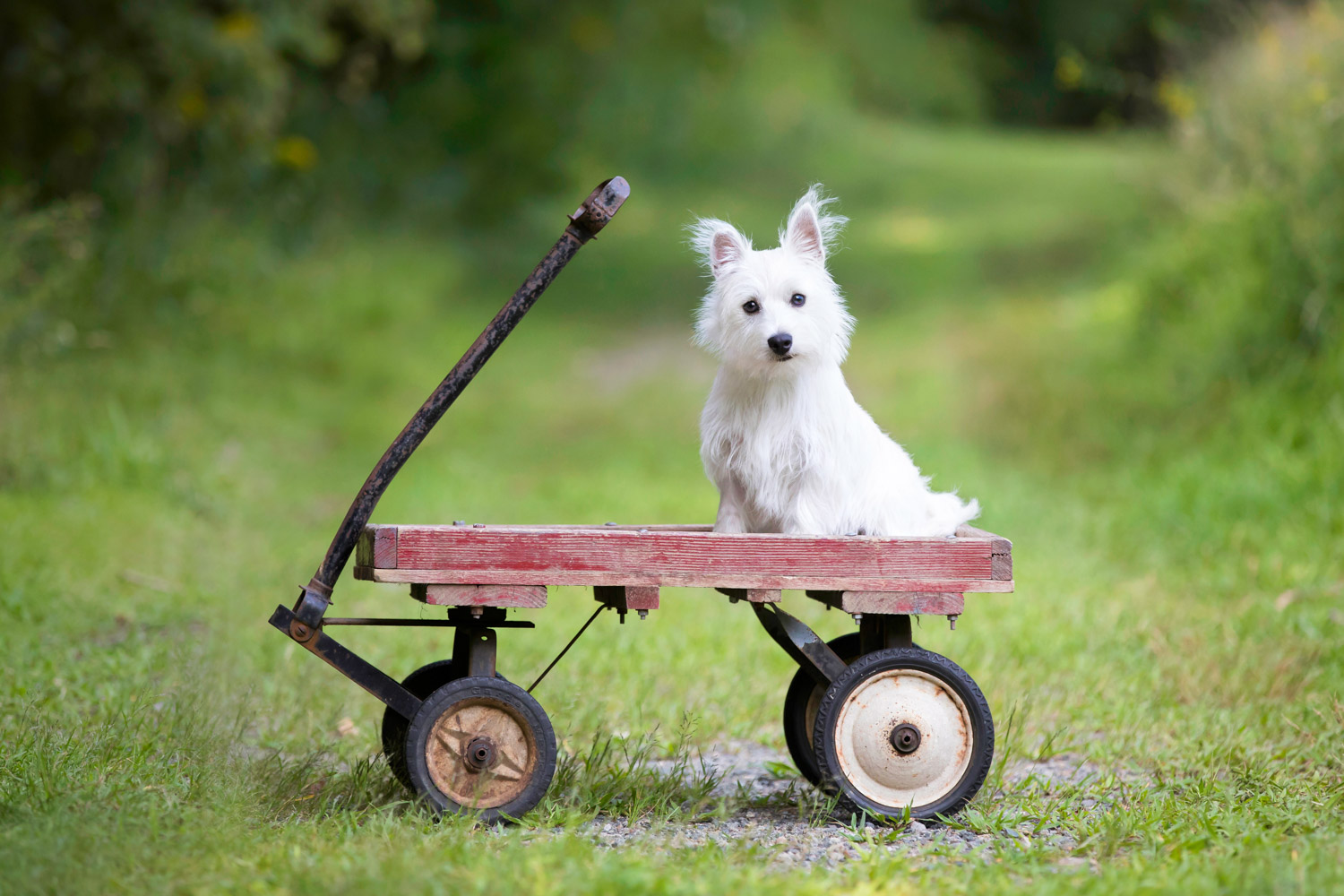 West Highland Terrier Puppy on the red wagon