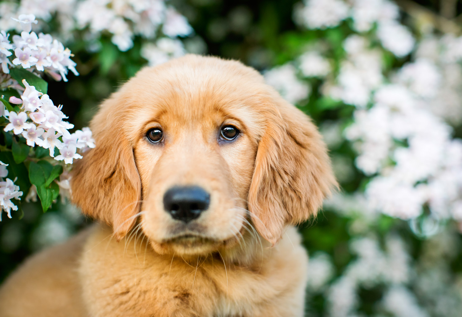 Golden Retriever Puppy in the flowers
