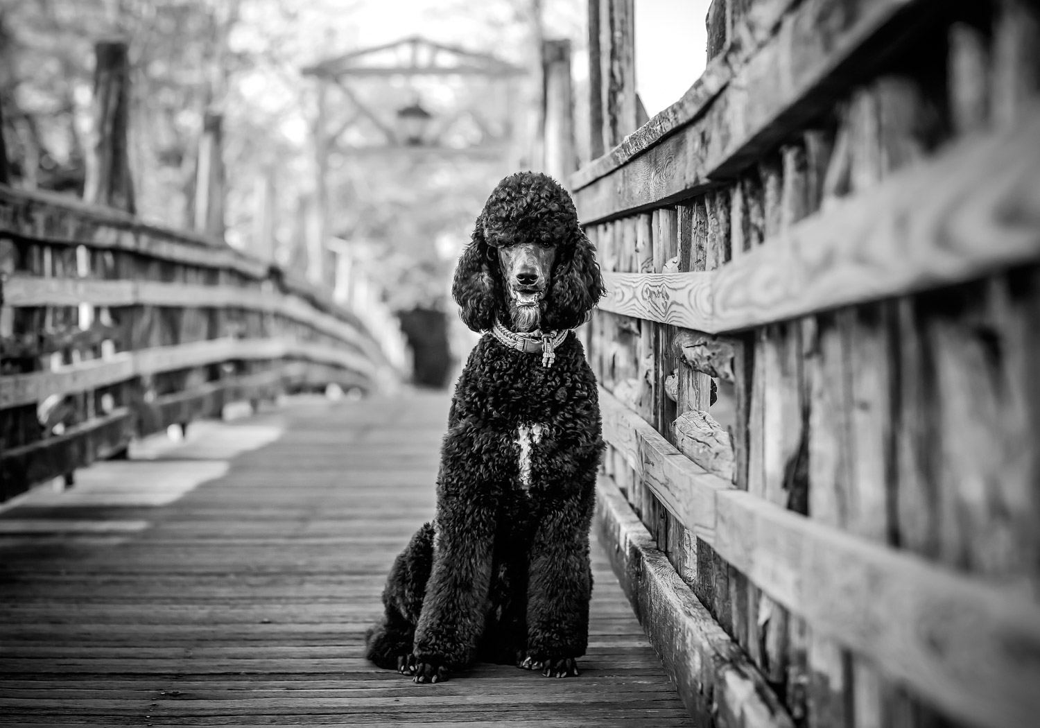Standard Poodle at Spring Lake Bridge