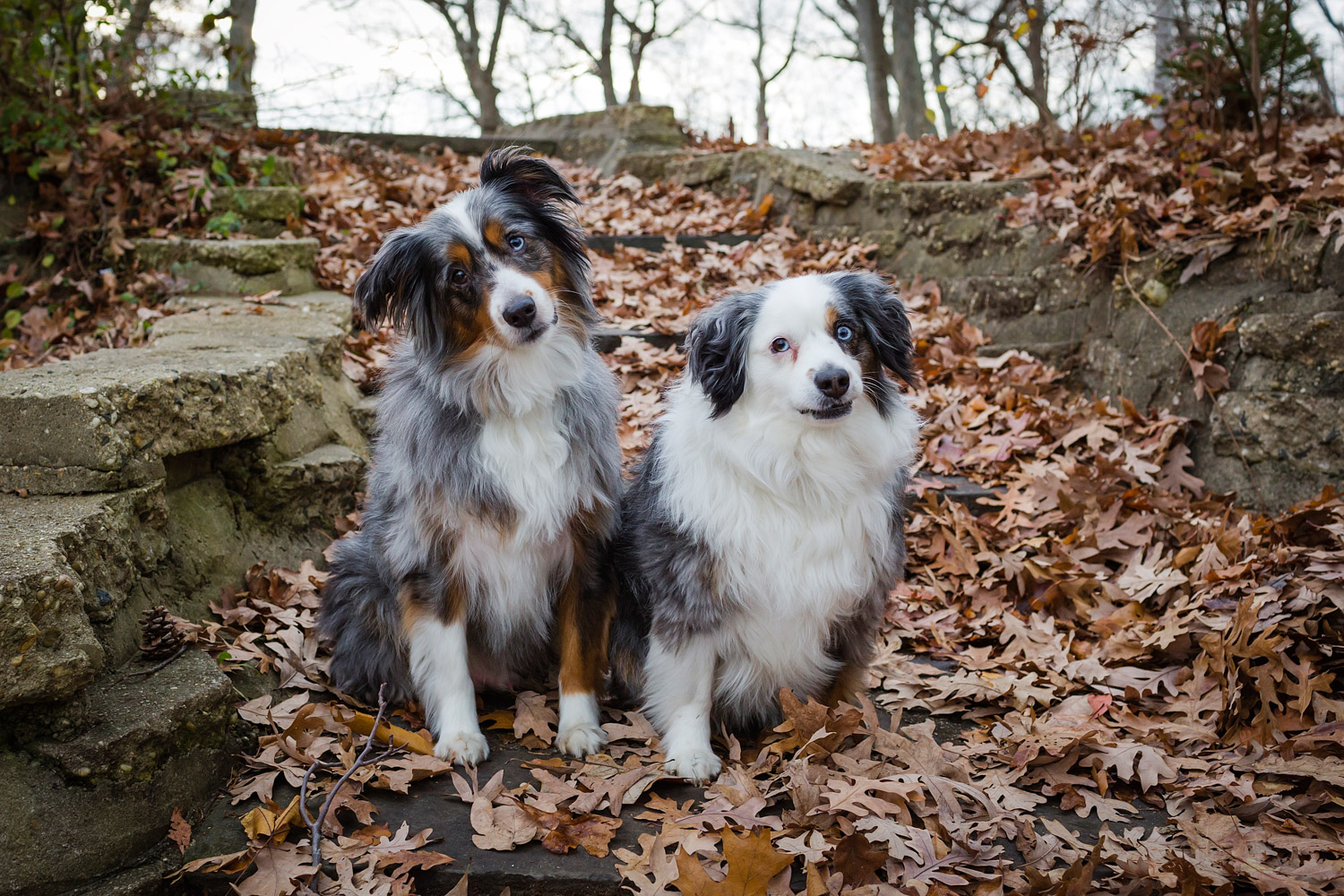 Australian Shepherds with head tilt