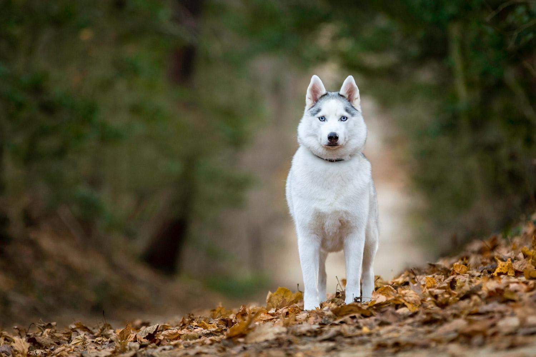 Husky with beautiful blue eyes