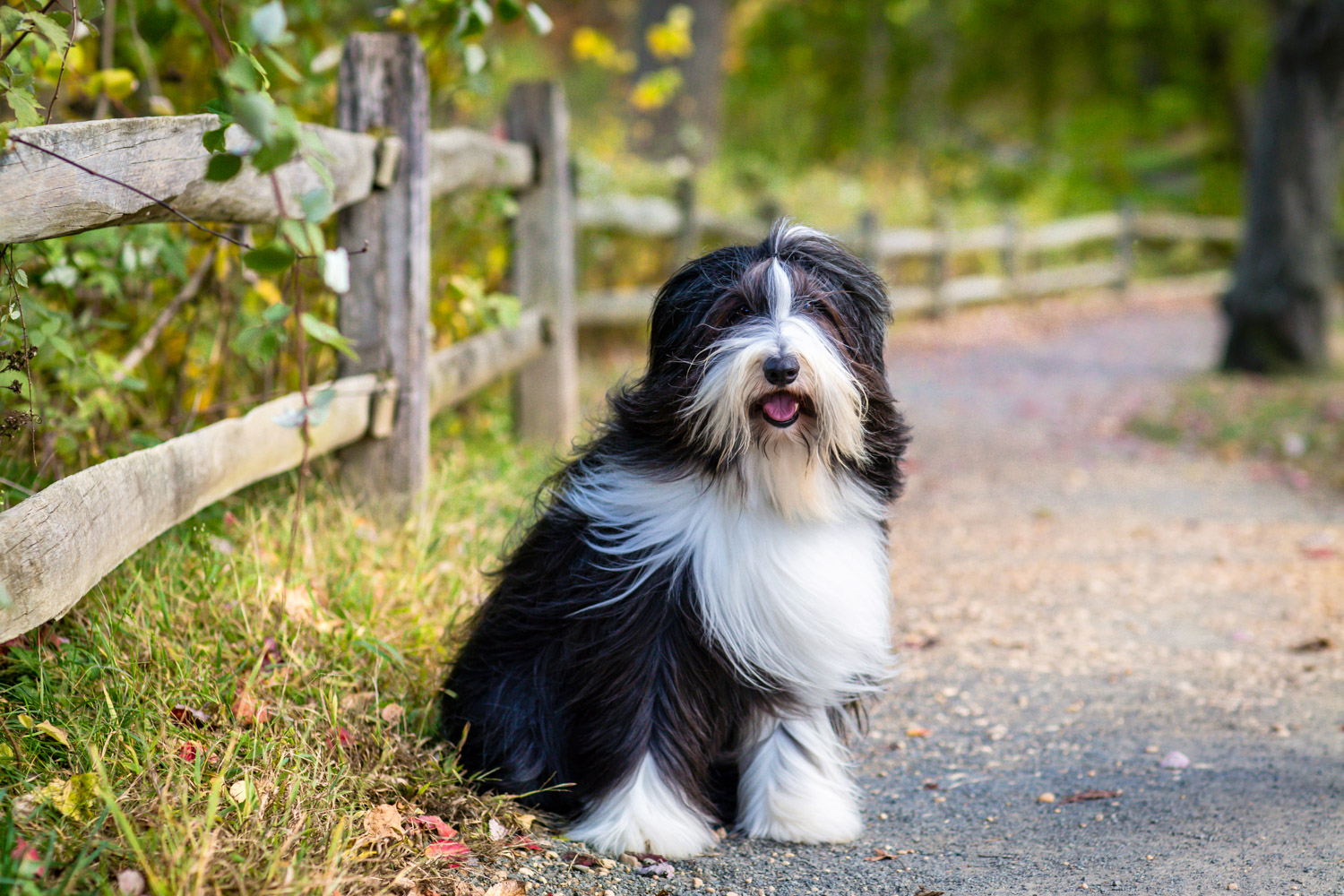 Smiling Bearded Collie at Holmdel Park