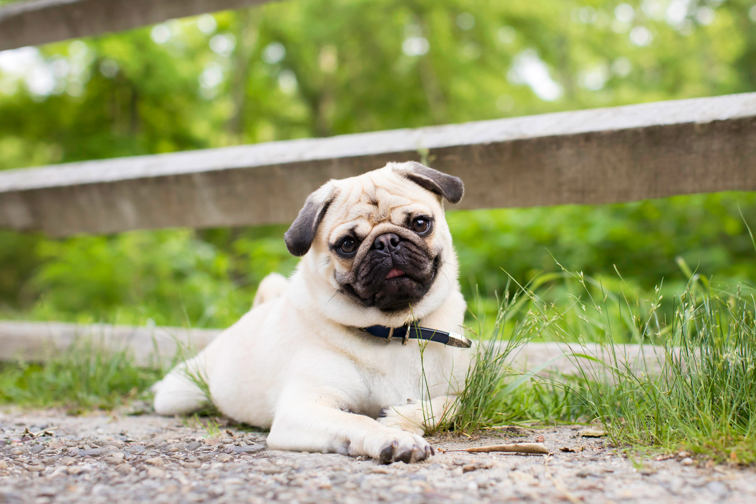 Adorable Pug Lying By The Fence