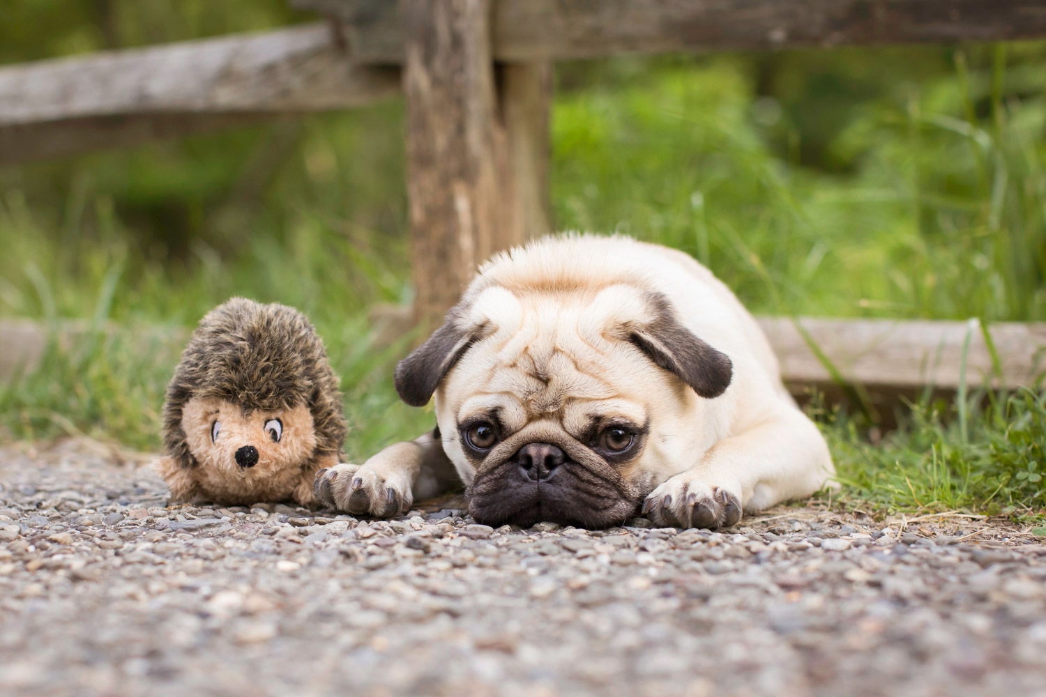Cute pug posing with his favorite toy