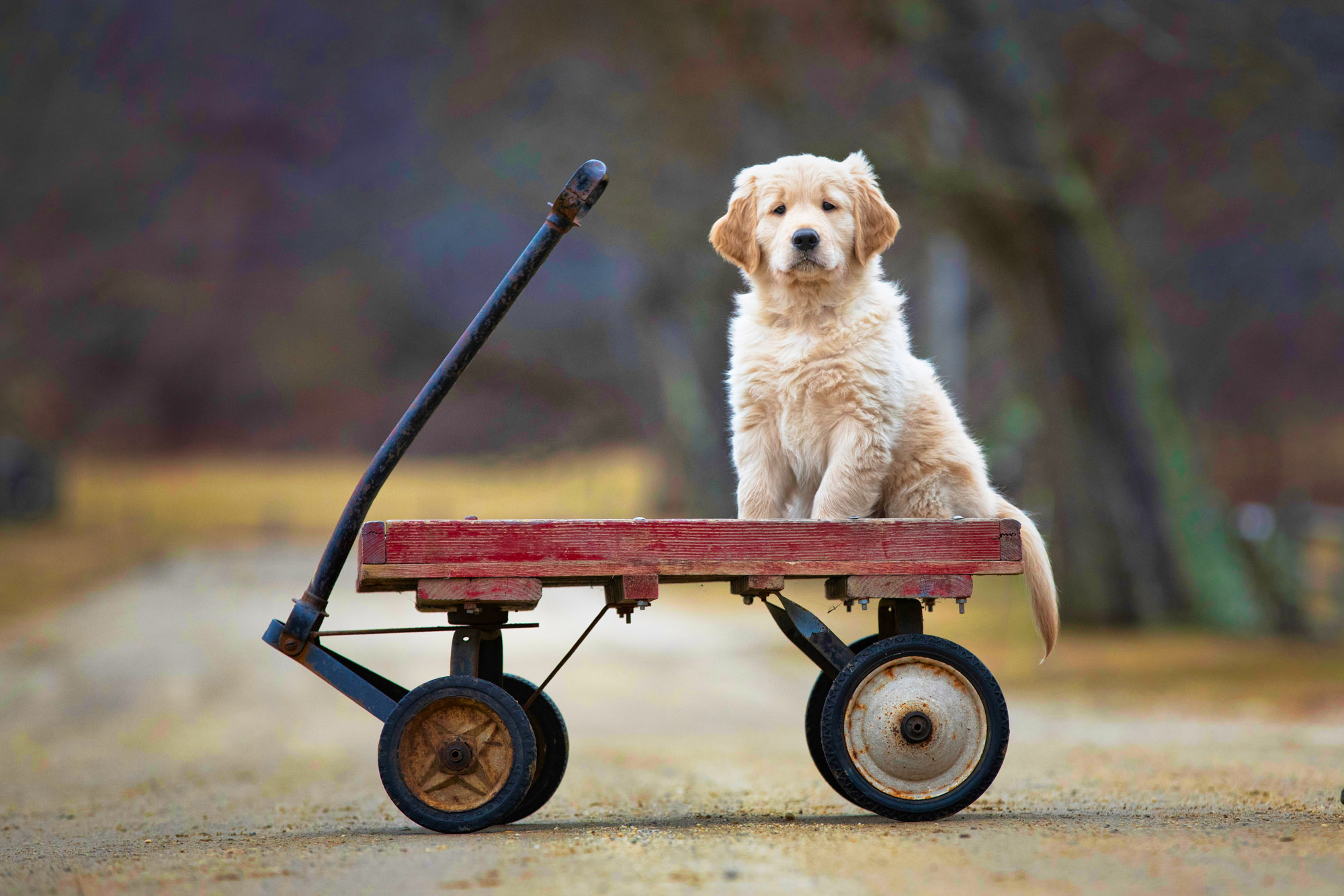 golden retriever puppy on red wagon