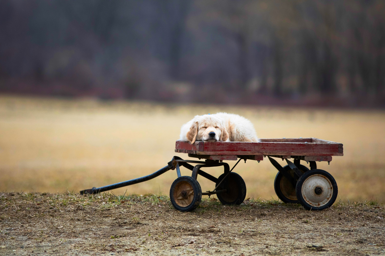 Golden Retriever on red wagon