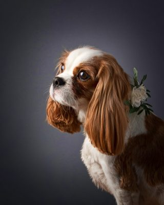 Cavalier King Charles in the photo studio with white flower