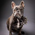 Grey Frenchie with a pretty flower