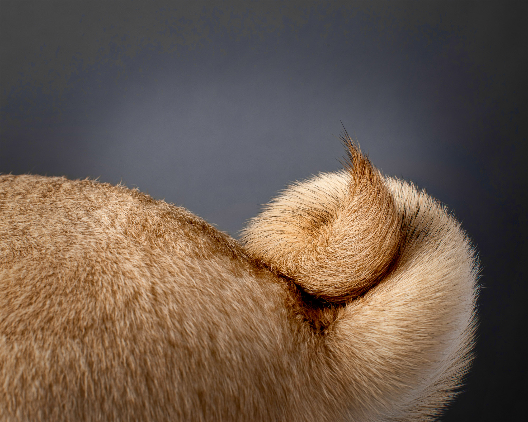 Pug with unique double tail