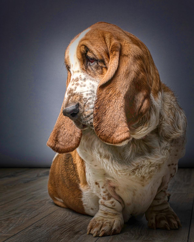Senior Basset hound with beautiful dog ears