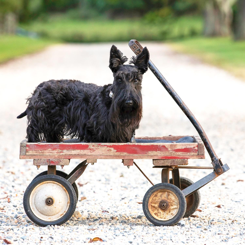 Black Scottie dog on red wagon