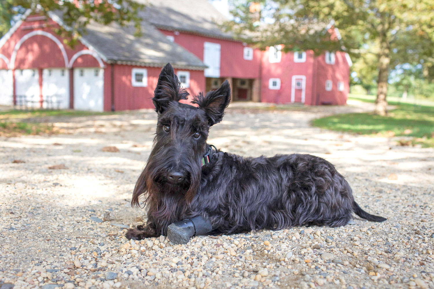 Scottie lying down in front of red barn