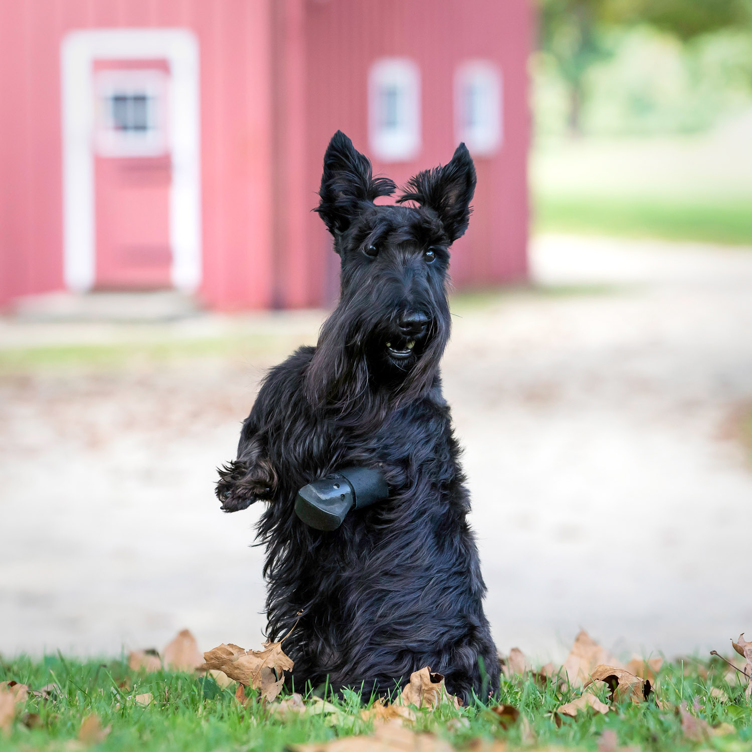 Adorable Scottie dog in front of red barn