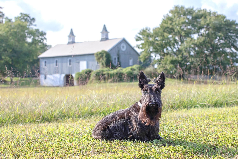 Black Scottie dog in front of grey barn