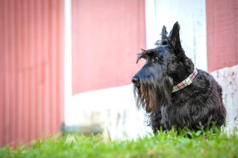 Gorgeous profile image of Scottie dog