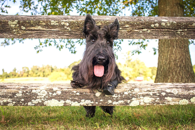 Scottie dog on the fence